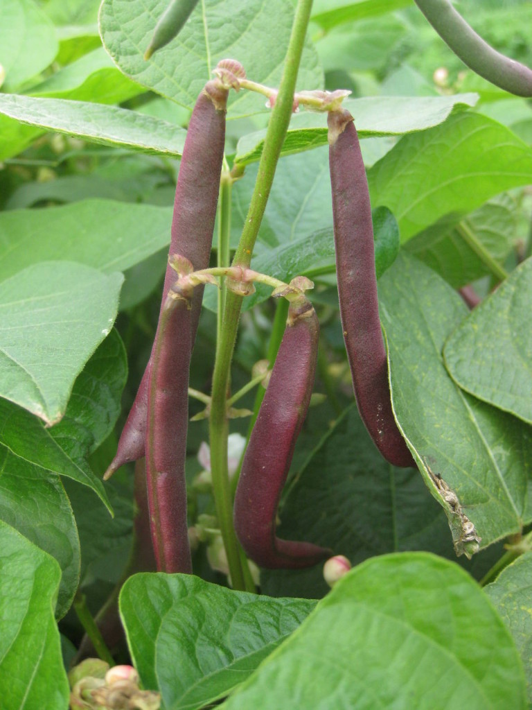 Red Swan beans. Picture Jay.