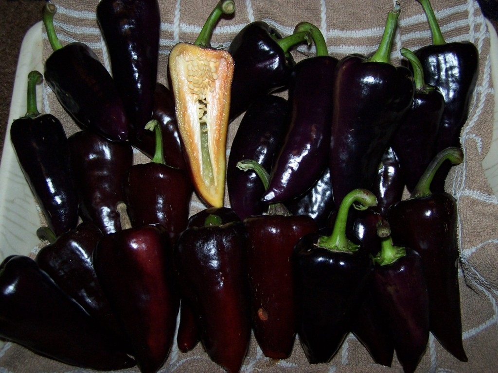 A good harvest of deep purple, sweet peppers.  Picture Goodlife