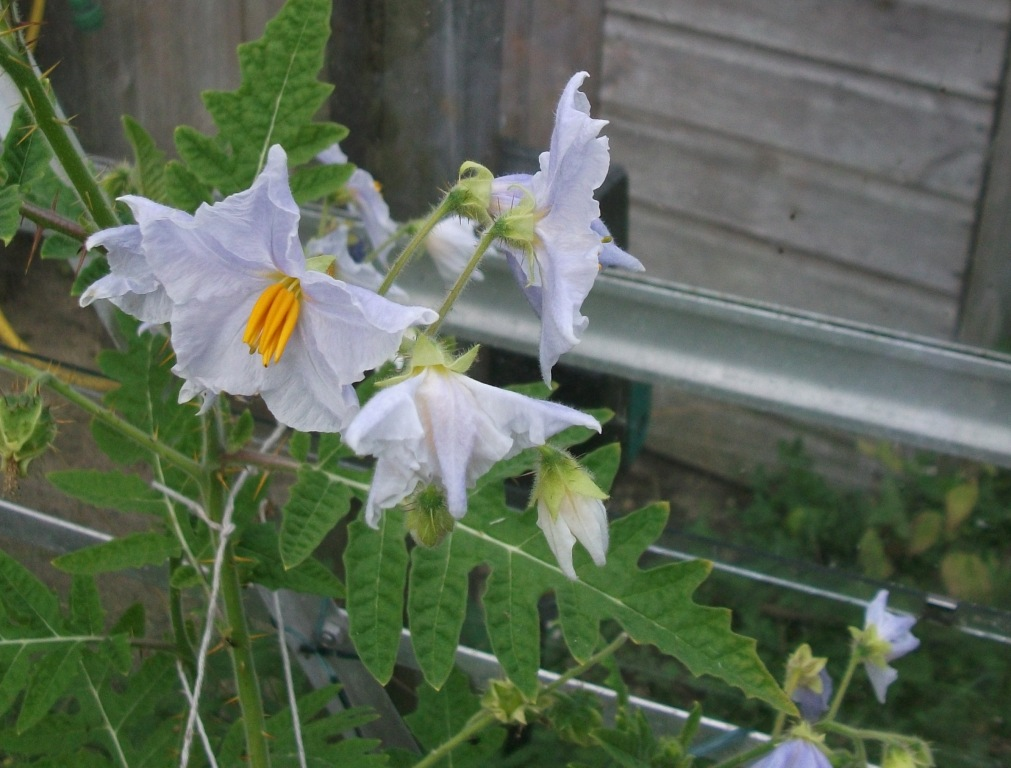 white to light blue flowers of Litchi tomato